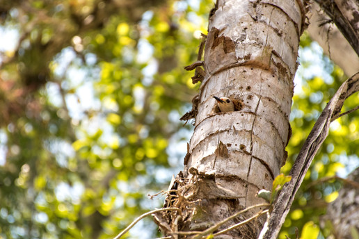 Woodpecker's Nest