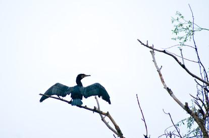 Posing Cormorant