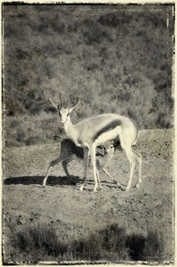 Springbok Foal