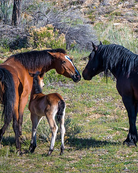 Mother, Foal & Stallion.jpeg