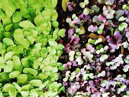 Eat Shoots And Leaves MicroGreens Radish