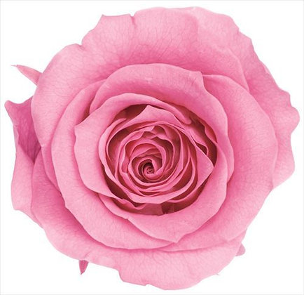 BOX OF 8 BLOOMS OHC-05203-181 Rose Kanon Princess Pink