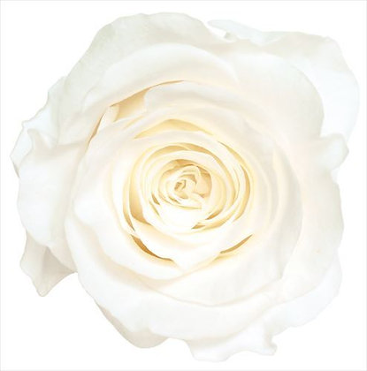 BOX OF 8 BLOOMS OHC-05203-001 Rose Kanon Pure White