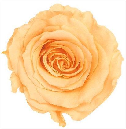 BOX OF 8 BLOOMS OHC-05203-361 Rose Kanon Julia Orange