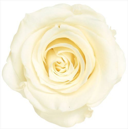 BOX OF 8 BLOOMS OHC-05203-011 (Single Bloom) Rose Kanon Antique White