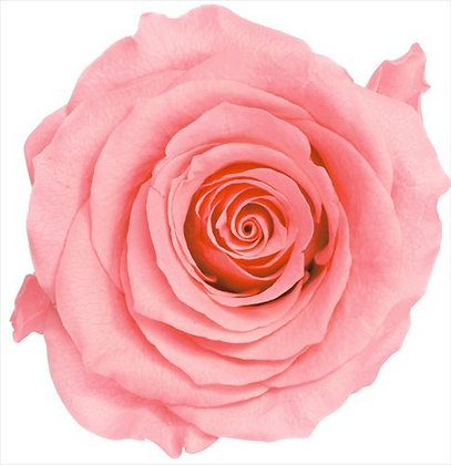 BOX OF 8 BLOOMS OHC-05203-121 Rose Kanon Candy Pink