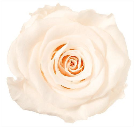 BOX OF 8 BLOOMS OHC-05203-021 (Single Bloom) Rose Kanon White Champagne