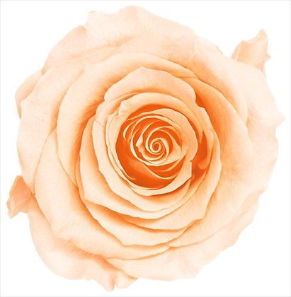 BOX OF 8 BLOOMS OHC-05203-371 Rose Kanon Creamy Peach