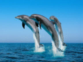 Jumping_Bottlenose_Dolphins__42550_zoom.