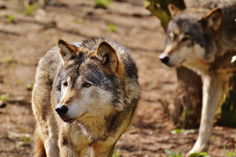The Wolves - Rewilding the UK