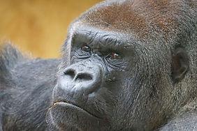 gorilla-newquay-zoo.jpg