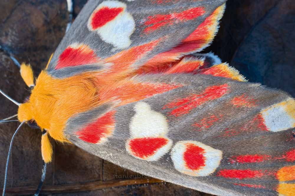 Red Spot Hypsidia Moth