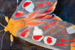 Red Spot Hypsidia Moth