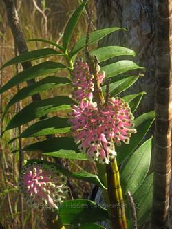 Bottlebrush Orchid