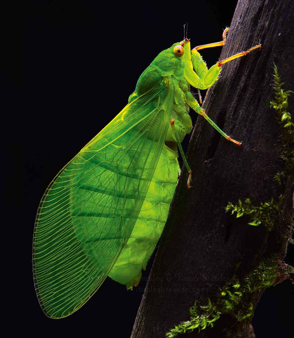 Bottle Cicada