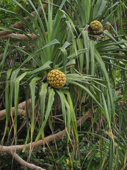 Swamp Pandanus