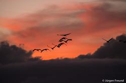 Brolgas at sunset