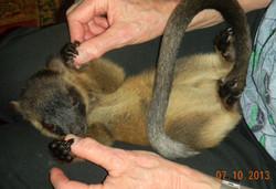 Baby Lumholtz tree kangaroo playing