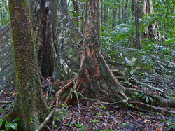 1a Complex mesophyll vine forest