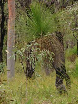24a Medium Corymbia citriodora woodl