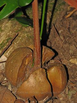 Ribbonwood, Idiot Fruit