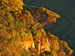 Mountain Tea Tree