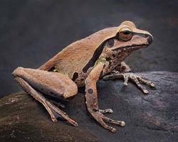 Stony Creek Frog