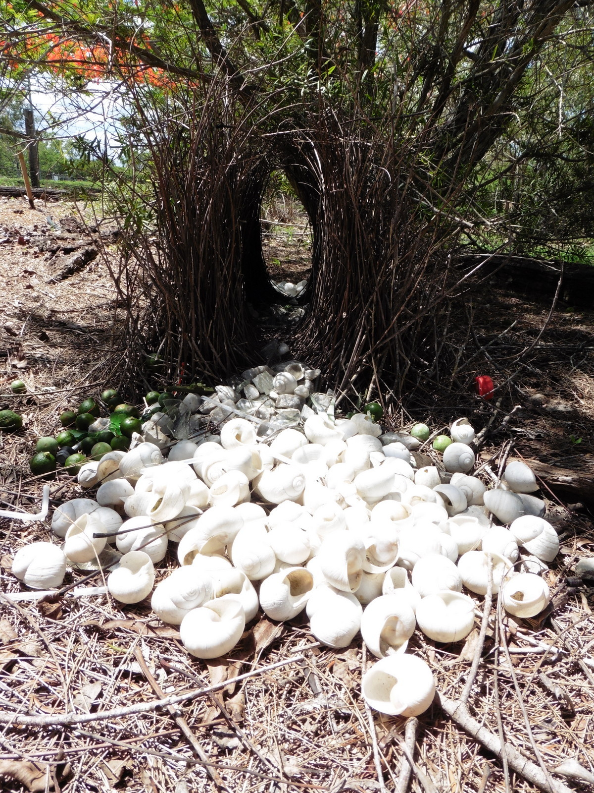 Greater bowerbird display avenue