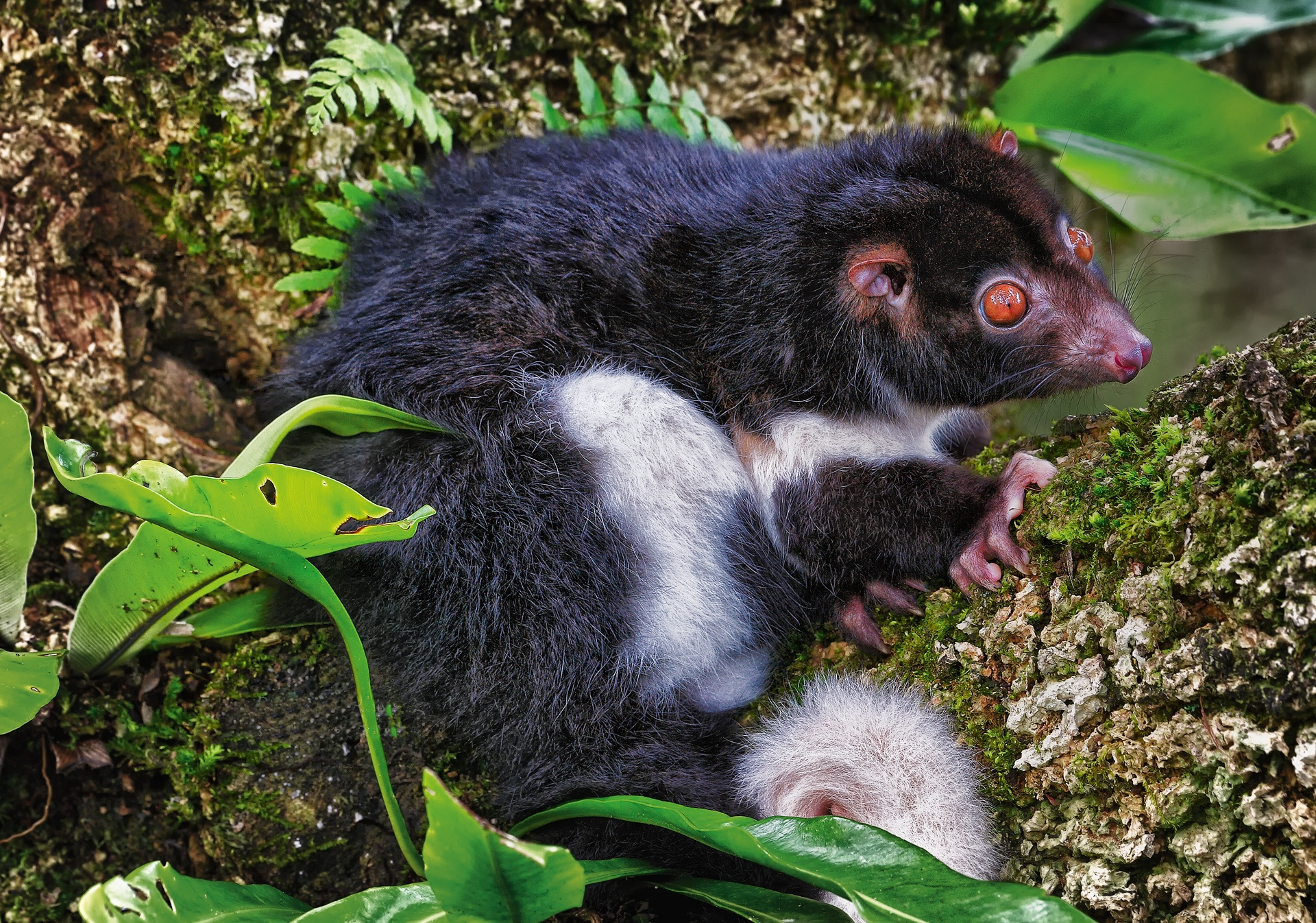 Herbert river ring-tail possum