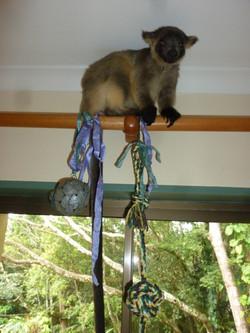 Baby tree kangaroo learning to climb