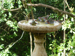 Red-browed fire-tail finches bathing