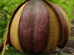 Native Kapok (Fruit)