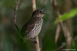 Tooth billed bowerbird