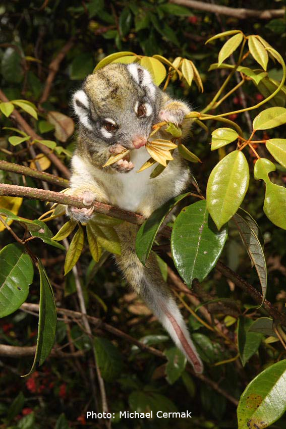 Green ring-tail possum