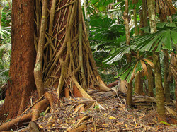 Mesophyll vine forest with Fan Palm