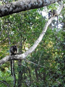 Lumholtz tree kangaroo