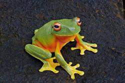 Orange Eyed Tree Frog