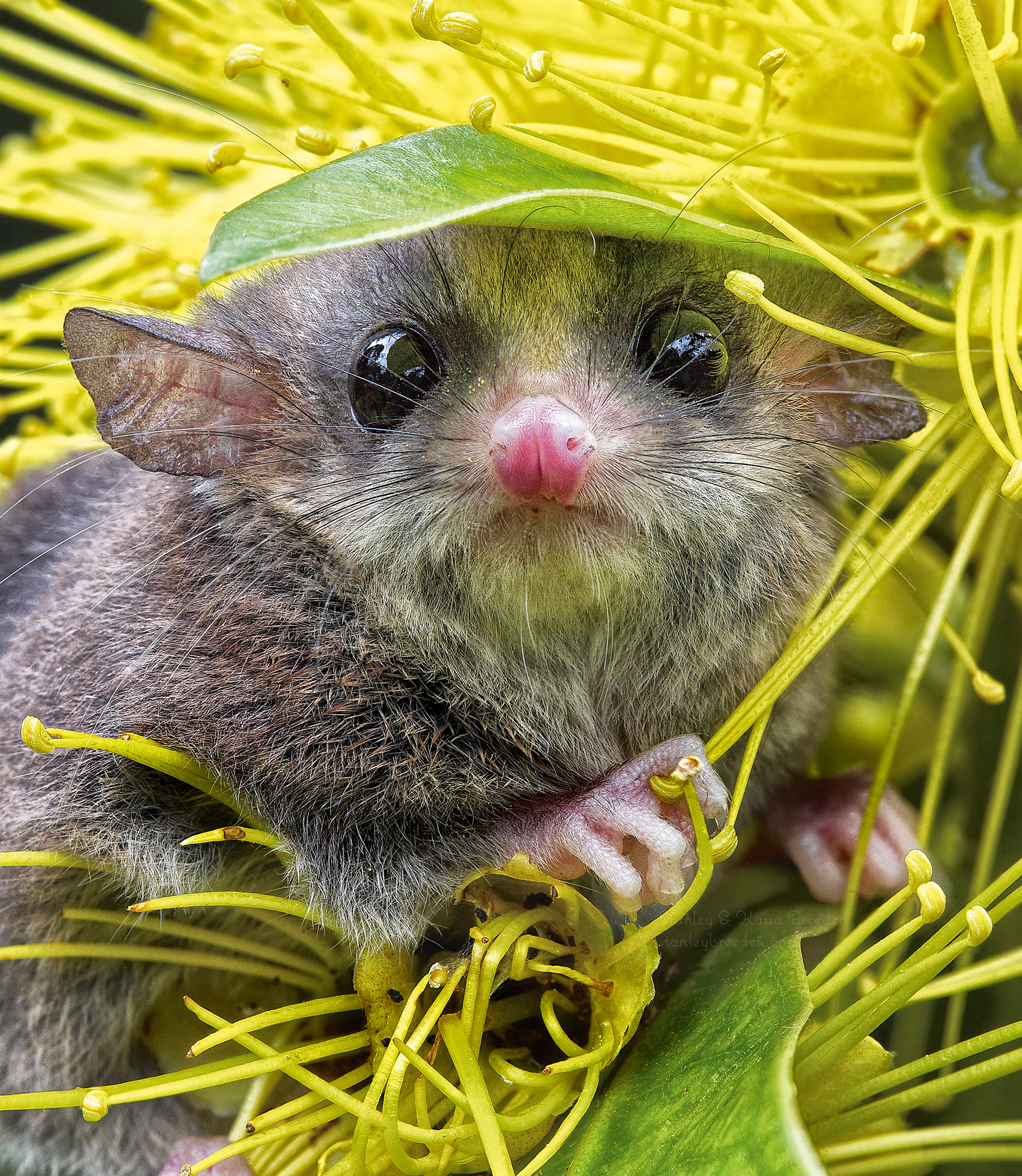 Long-tailed pygmy possum