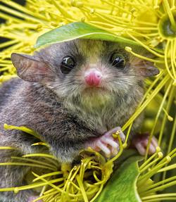Long-tailed pygmy possum