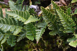 Small Hare foot fern