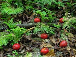 Poison Wallnut (Fruit)