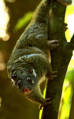 Green ring-tail possum