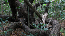 Calophylum Coastal Forest