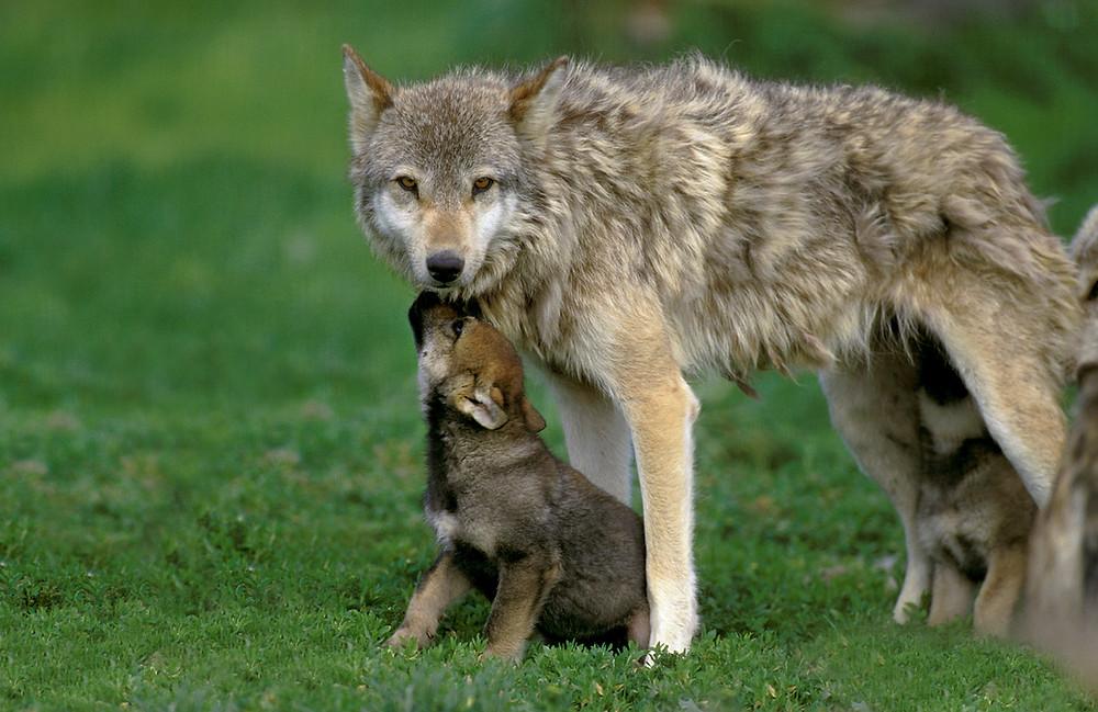 Wolfsmutter mit ihren Babys