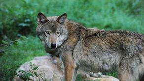 Wolf bei Celle wurde erschossen - Ich spüre Wut in mir