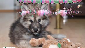 """""""Menschen für Wölfe"""" wünscht allen ein frohes Osterfest!"""