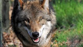 """""""Menschen für Wölfe"""" braucht Ihre Unterstützung"""