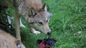 Der Hass gegen die Wölfe geht weiter! Zeit für unser Filmprojekt