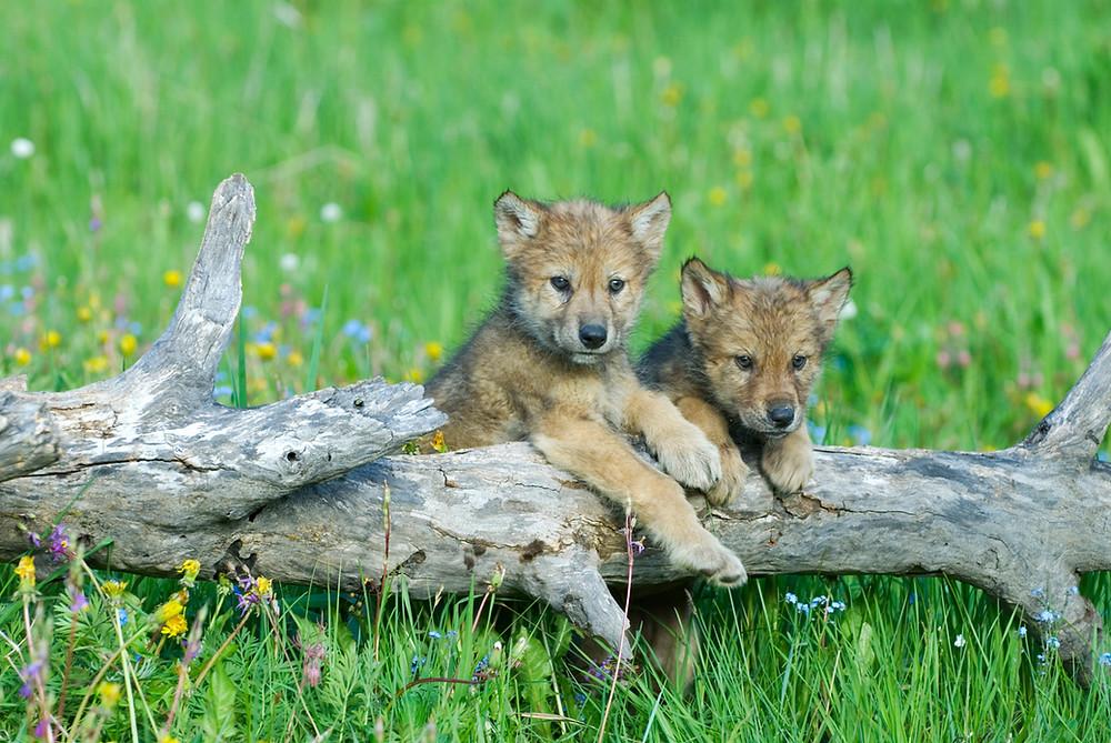 Zwei Wolfsbabys beobachten ihr Umfeld
