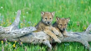 Hurra, die Wolfswelpen sind da!